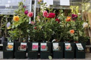 посадить саженцы роз