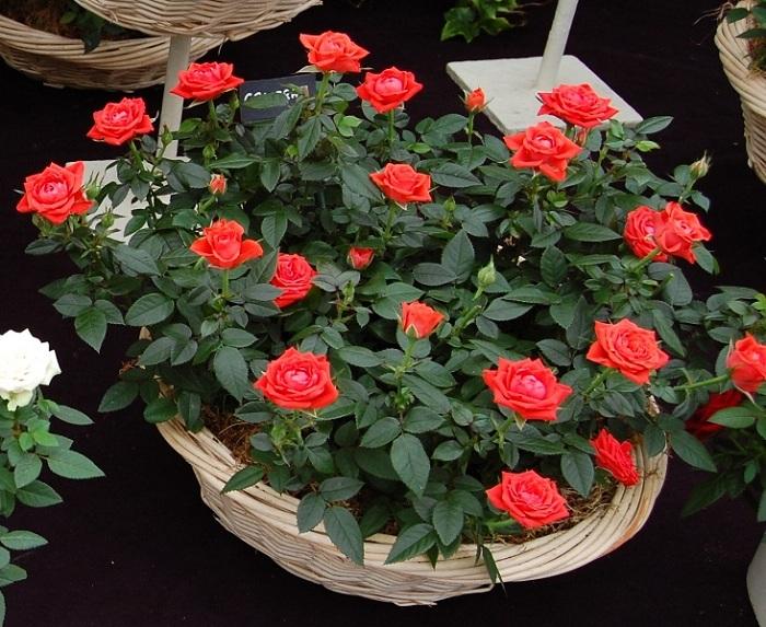 Как выращивать комнатные розы