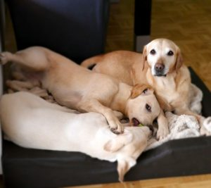 собаки в квартире