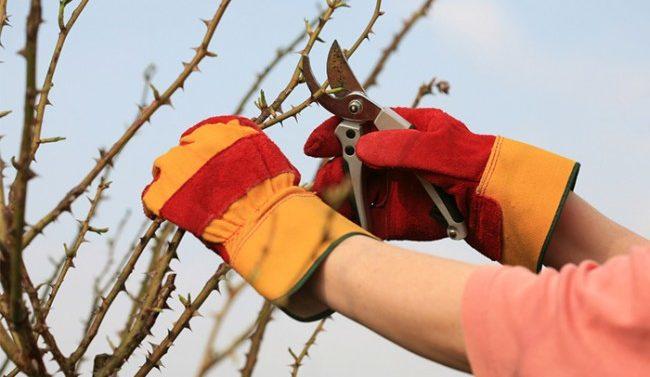 Как реанимировать саженец розы