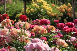 посадить розы