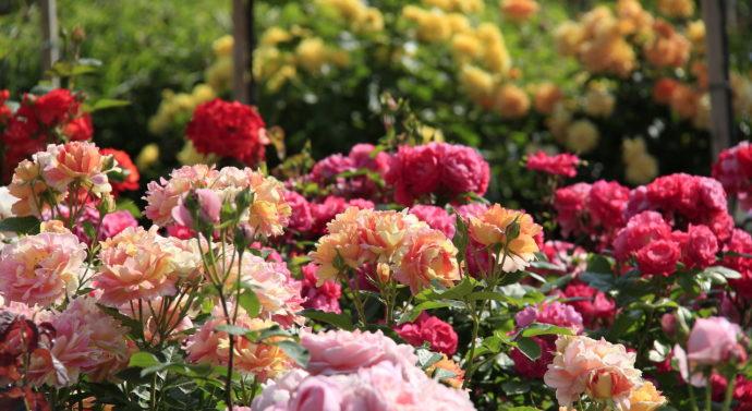 Как посадить саженцы розы